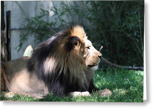 National Zoo - Lion - 011318 Greeting Card by DC Photographer