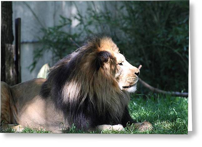 National Zoo - Lion - 011319 Greeting Card by DC Photographer