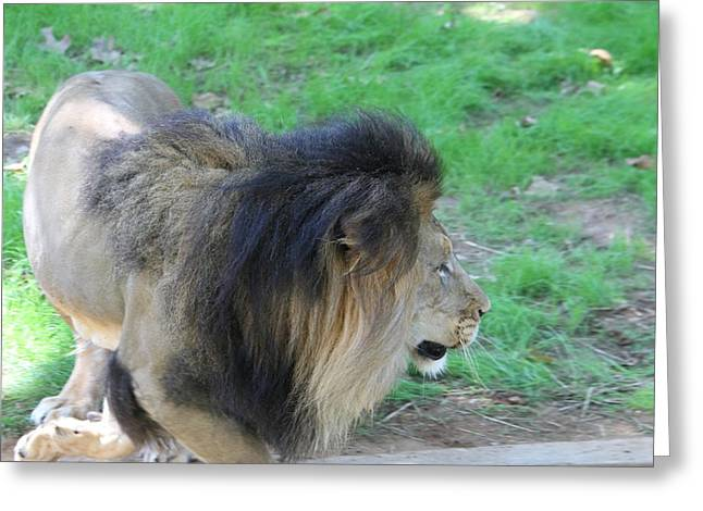 National Zoo - Lion - 01133 Greeting Card
