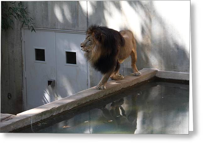National Zoo - Lion - 01137 Greeting Card