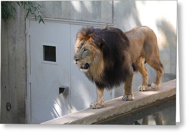 National Zoo - Lion - 01138 Greeting Card by DC Photographer