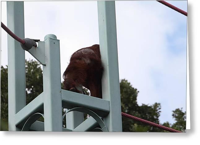 National Zoo - Orangutan - 01131 Greeting Card