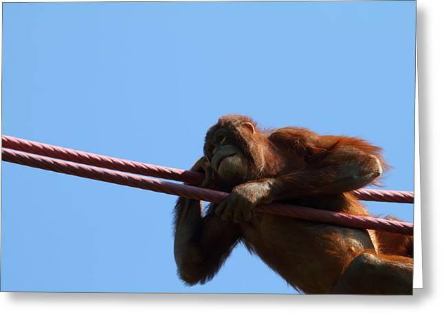 National Zoo - Orangutan - 011311 Greeting Card by DC Photographer