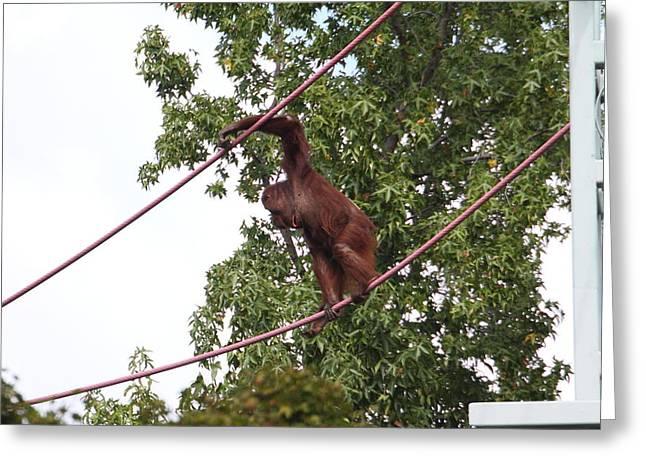 National Zoo - Orangutan - 01134 Greeting Card by DC Photographer