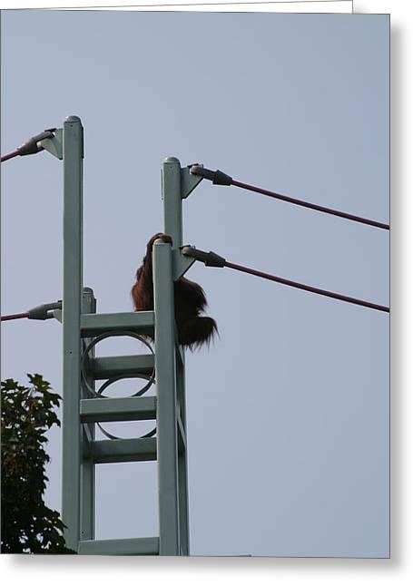 National Zoo - Orangutan - 12121 Greeting Card by DC Photographer