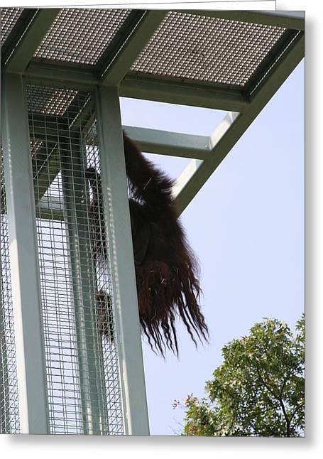 National Zoo - Orangutan - 121212 Greeting Card