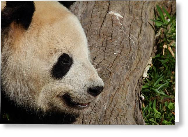 National Zoo - Panda - 011326 Greeting Card by DC Photographer