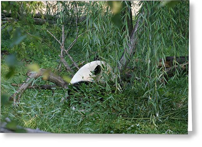 National Zoo - Panda - 12121 Greeting Card