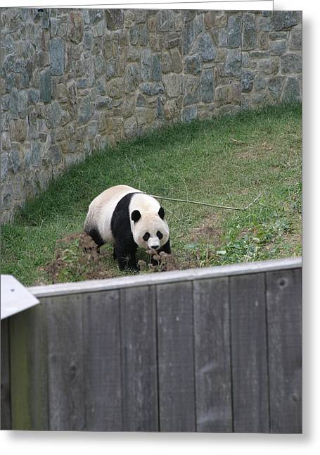 National Zoo - Panda - 12124 Greeting Card