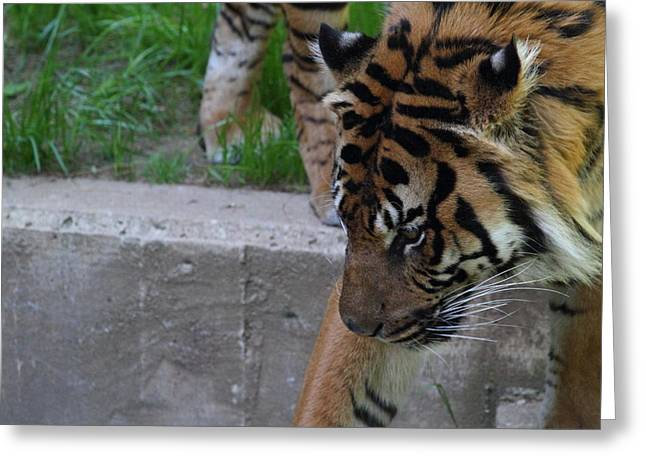 National Zoo - Tiger - 011318 Greeting Card by DC Photographer