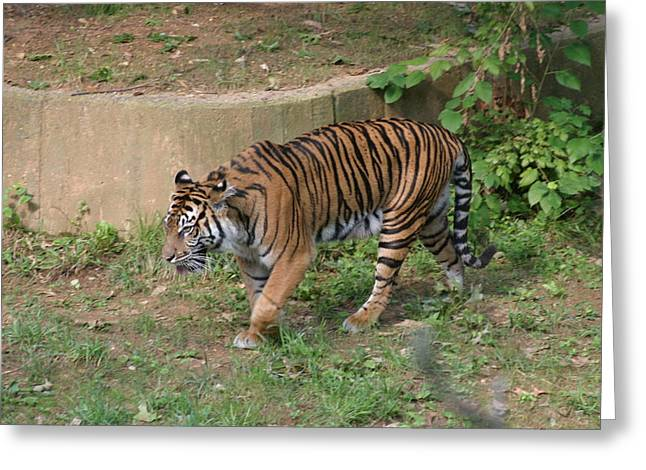 National Zoo - Tiger - 121212 Greeting Card by DC Photographer