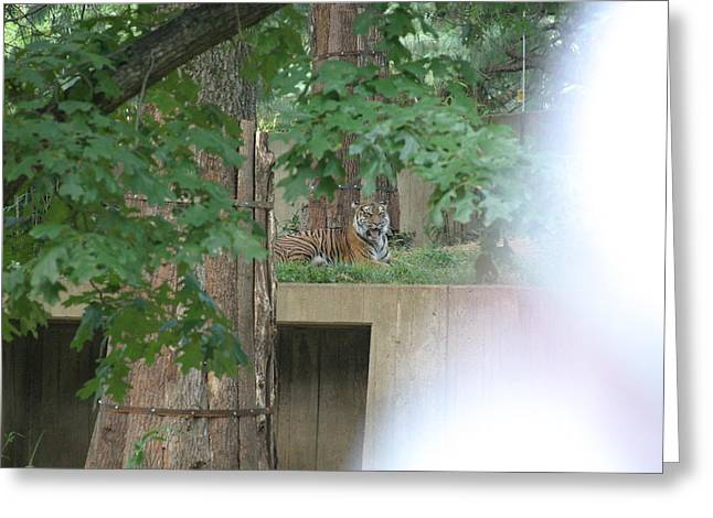 National Zoo - Tiger - 12129 Greeting Card by DC Photographer