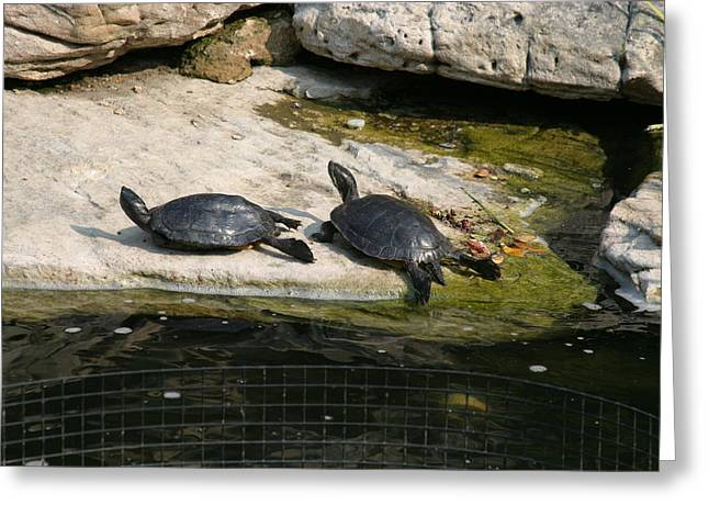 National Zoo - Turtle - 12123 Greeting Card