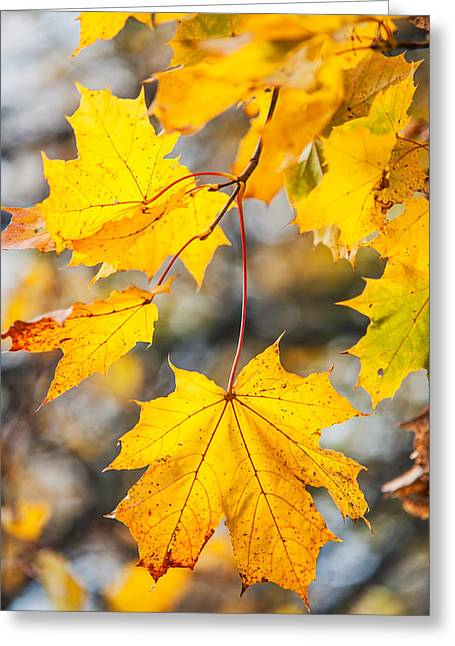 Natural Patchwork. Golden Mable Leaves Greeting Card by Jenny Rainbow