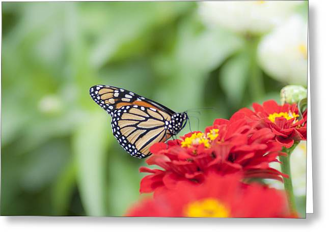 Natures Beauty - The Buterfly Greeting Card