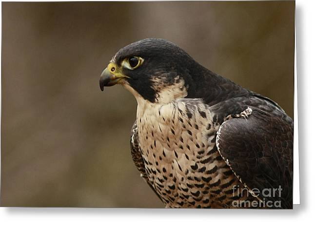 Natures Grace Peregrine Falcon Greeting Card by Inspired Nature Photography Fine Art Photography