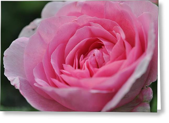 Greeting Card featuring the photograph Nature's Pink by Sabine Edrissi