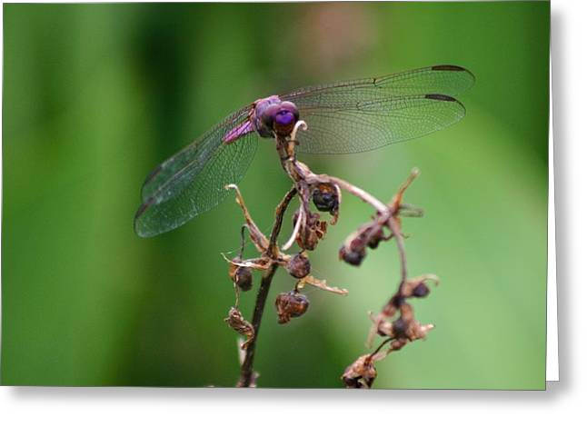 Dragonfly - Nature's Rose Greeting Card