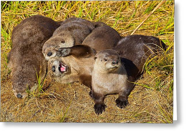 Greeting Card featuring the photograph Naughty Otters by Aaron Whittemore