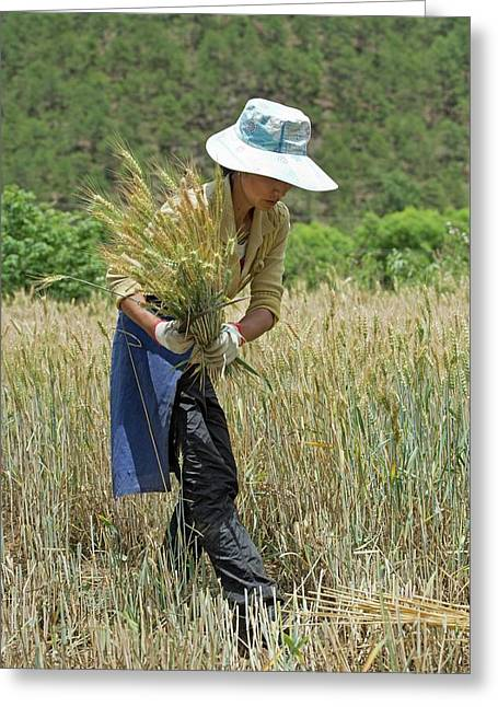 Naxi Minority Woman Harvesting Wheat Greeting Card by Tony Camacho