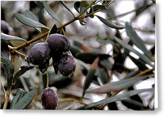 Nazareth Olives Israel Greeting Card