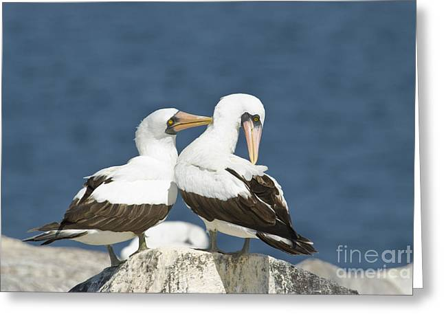 Nazca Boobies Preening Greeting Card by William H. Mullins