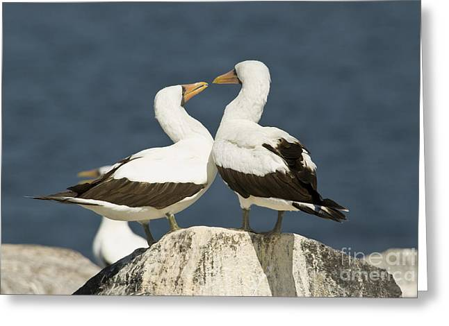 Nazca Booby Pair Greeting Card by William H. Mullins
