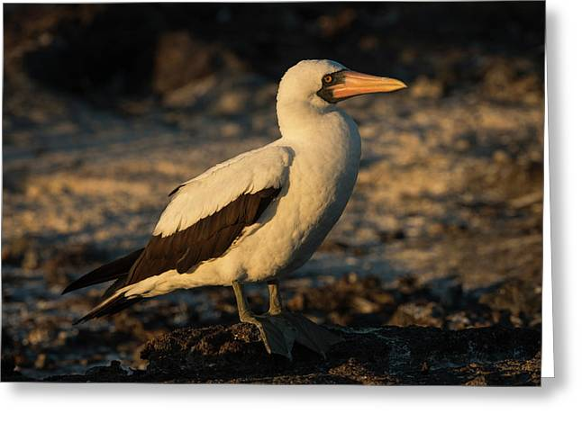 Nazca Booby (sula Granti Greeting Card by Pete Oxford