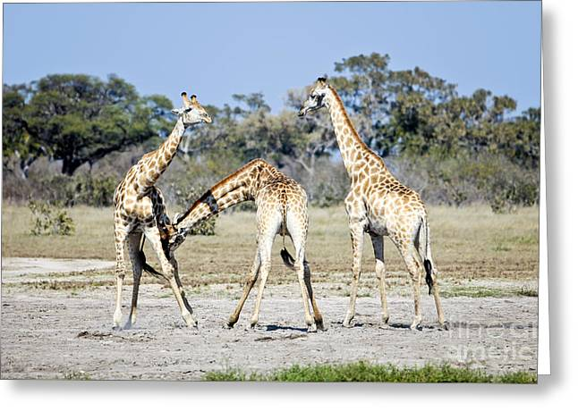 Necking Giraffes Botswana Greeting Card by Liz Leyden