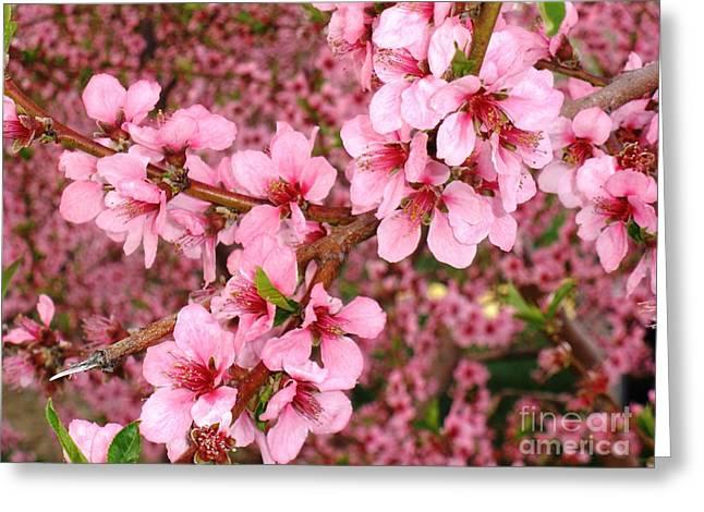 Nectarine Blossoms Greeting Card