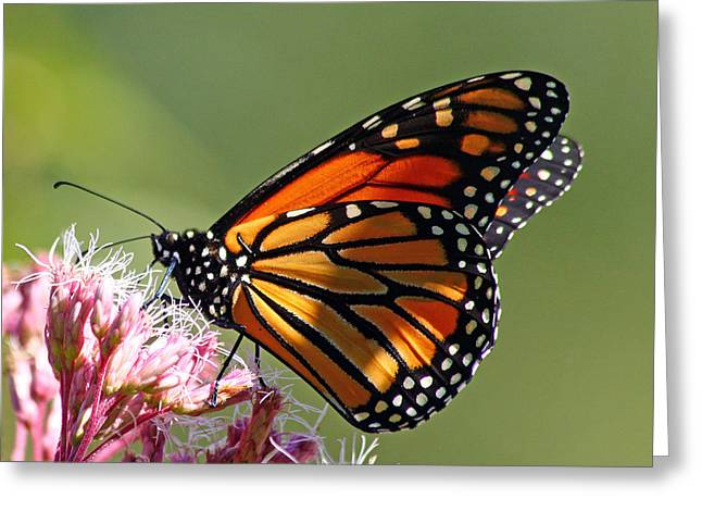 Nectaring Monarch Butterfly Greeting Card