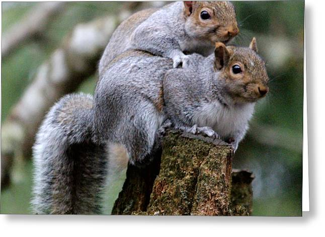 Fifty Shades Of Gray Squirrel Greeting Card by Kym Backland