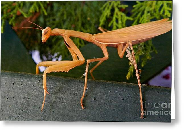 Neighborly Mantis Greeting Card