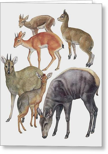 Neotraginae Mammals Greeting Card by Deagostini/uig/science Photo Library