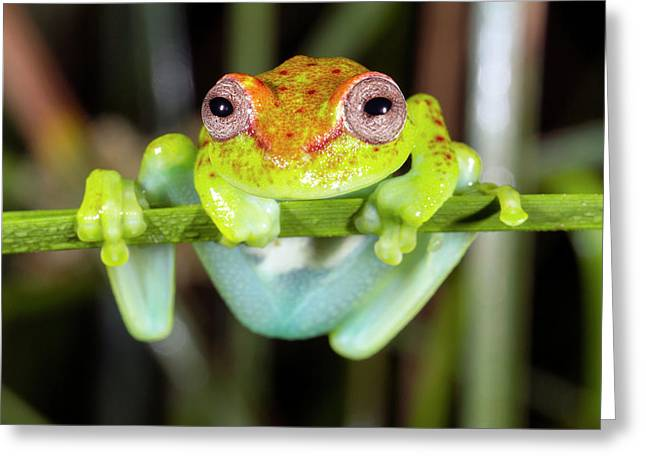 Neotropical Spotted Treefrog Greeting Card