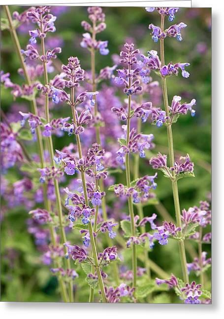 Nepeta 'six Hills Giant' Flowers Greeting Card