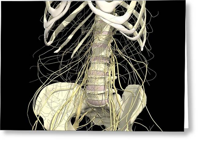 Nerves Of The Abdomen And Pelvis Greeting Card by Medical Images, Universal Images Group
