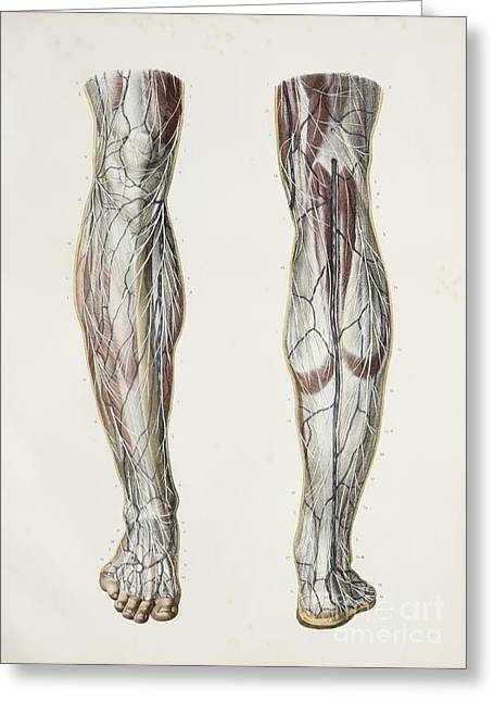 Nerves Of The Lower Leg, 1844 Artwork Greeting Card by Spl