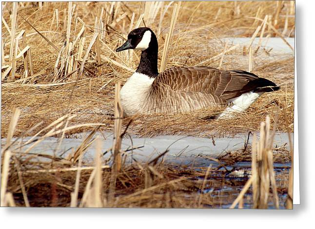 Nesting Goose Greeting Card by Thomas Young