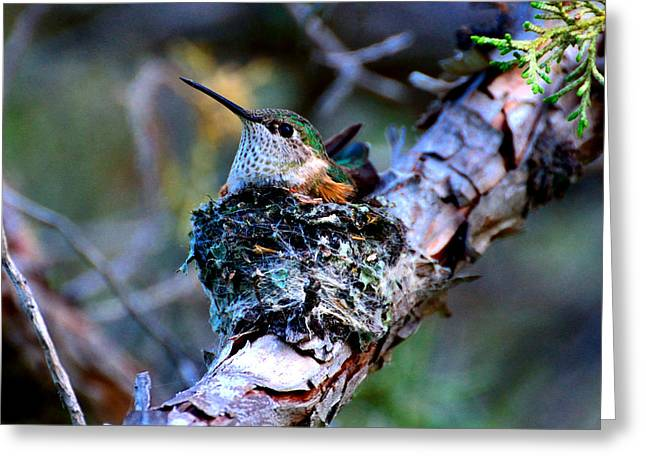 Nesting Hummingbird Greeting Card