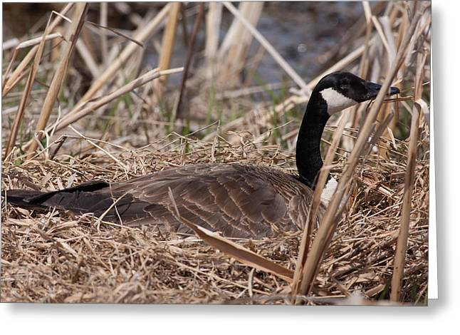 Nesting Mother Goose Greeting Card by Natural Focal Point Photography
