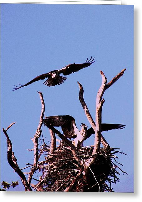 Nesting Ospray 2 Greeting Card by Will Boutin Photos