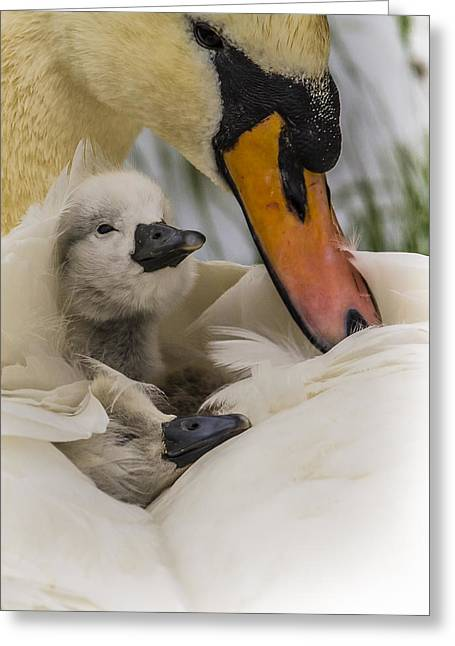 Nestled Cygnets Greeting Card
