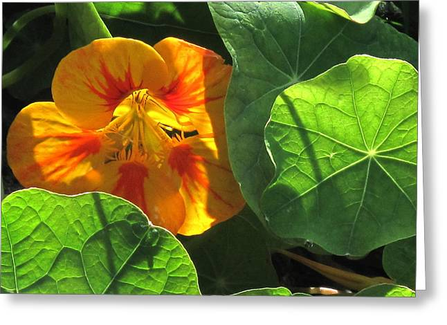 Nestled Nasturtium Greeting Card
