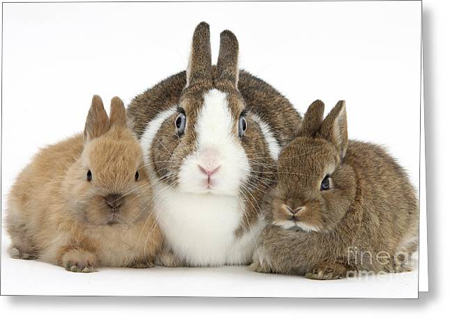 Netherland Dwarf Rabbits, Mother Greeting Card by Mark Taylor