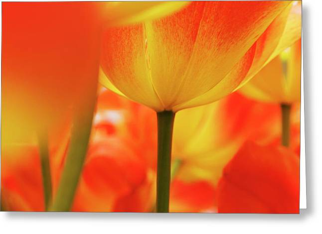 Netherlands, Macro Of Colorful Tulip Greeting Card