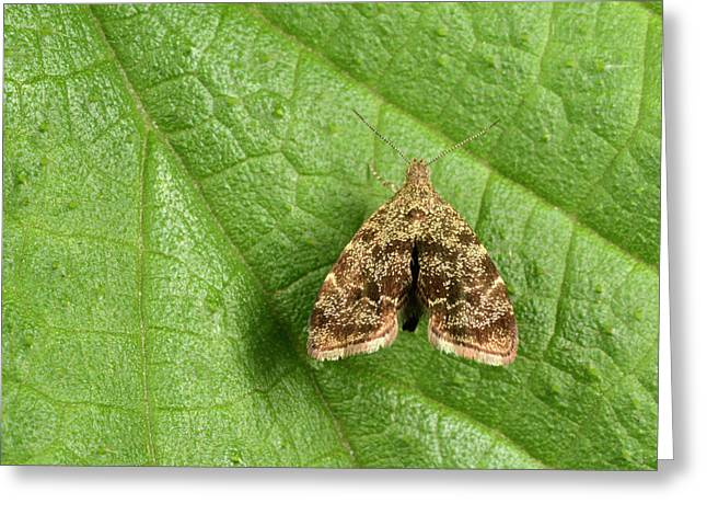 Nettle-tap Moth Greeting Card by Nigel Downer