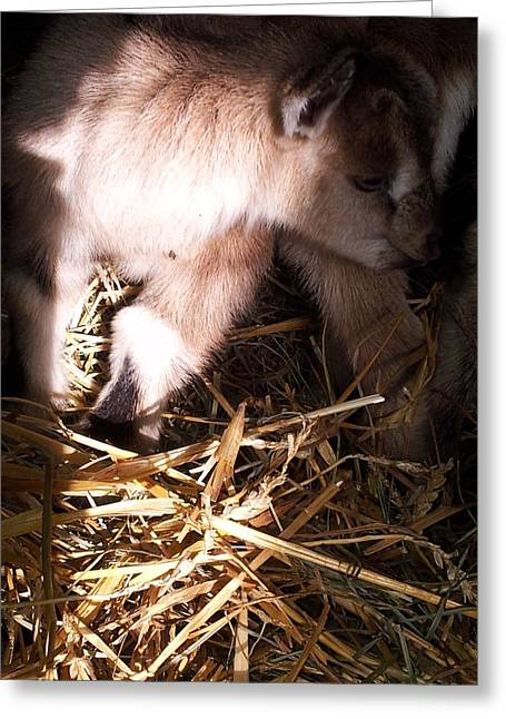 New Born Baby Goat Greeting Card by Nickolas Kossup