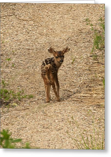 Greeting Card featuring the photograph New Born Mule Deer by Daniel Hebard