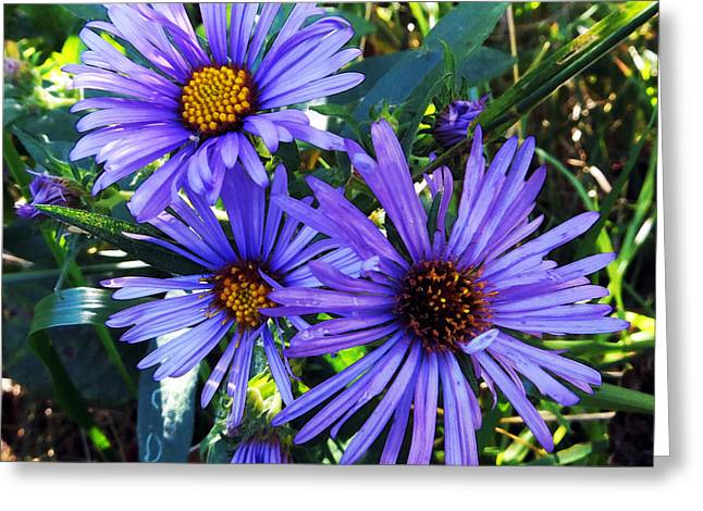 New England Aster Greeting Card by Shawna Rowe